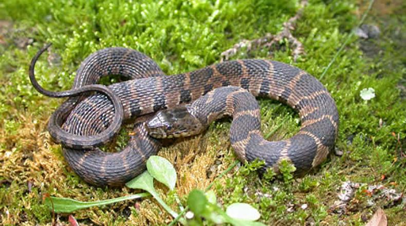 Midland Water Snake, Lancaster, SC, 2004.