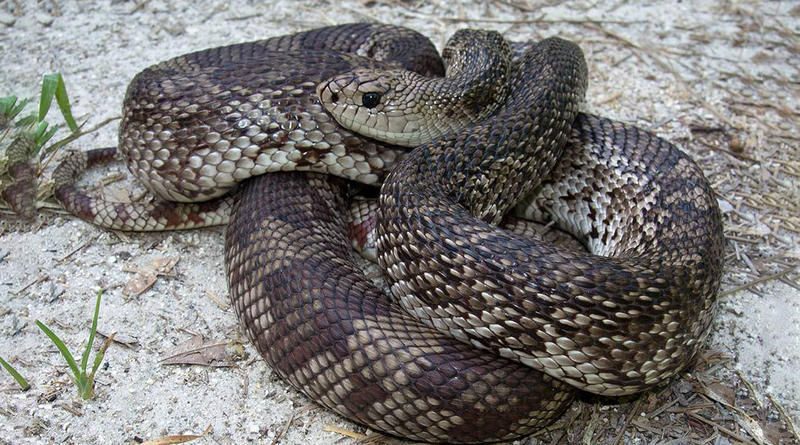 A Pine Snake