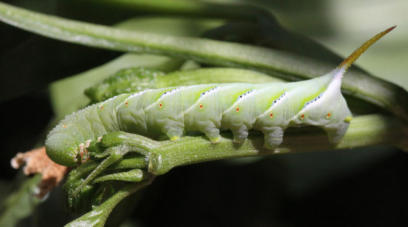The larva for the Rustic Sphinx moth, Manduca rustica.