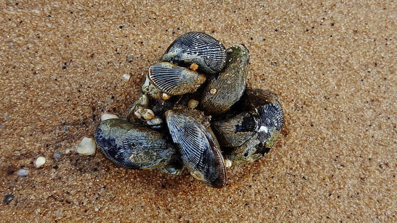 Atlantic Ribbed Mussels
