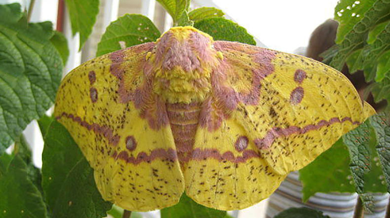 An Imperial Moth