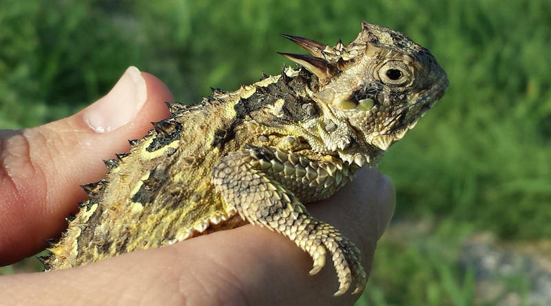 A Texas Horned Lizard