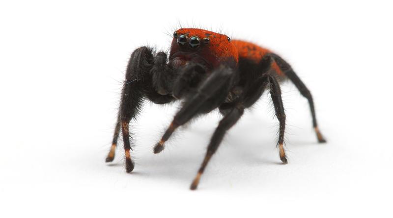 An Apache Jumping Spider (Phidippus apacheanus)