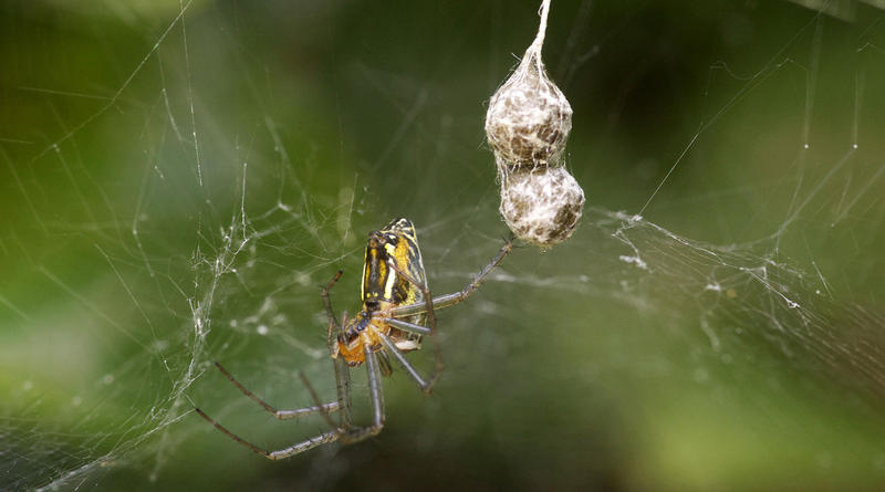 A female Basilica Orbweaver, Mecynogea lemniscata, with egg sacks.
