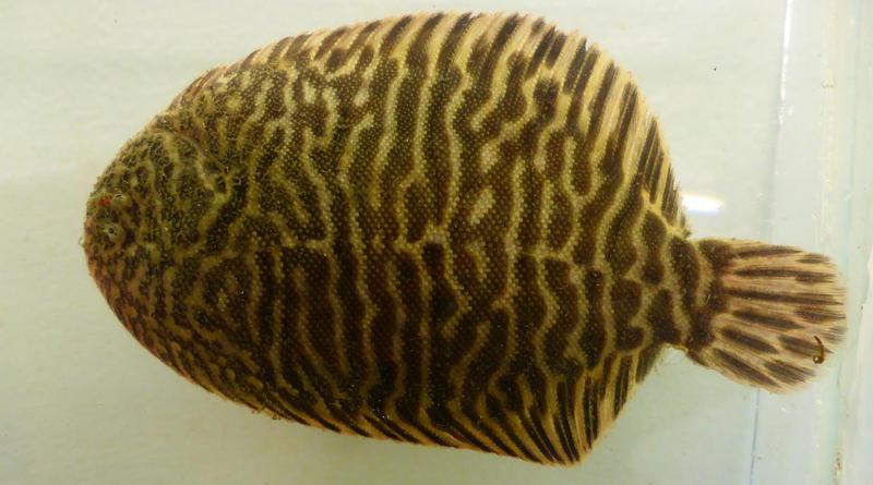A Hogchoker flounder.