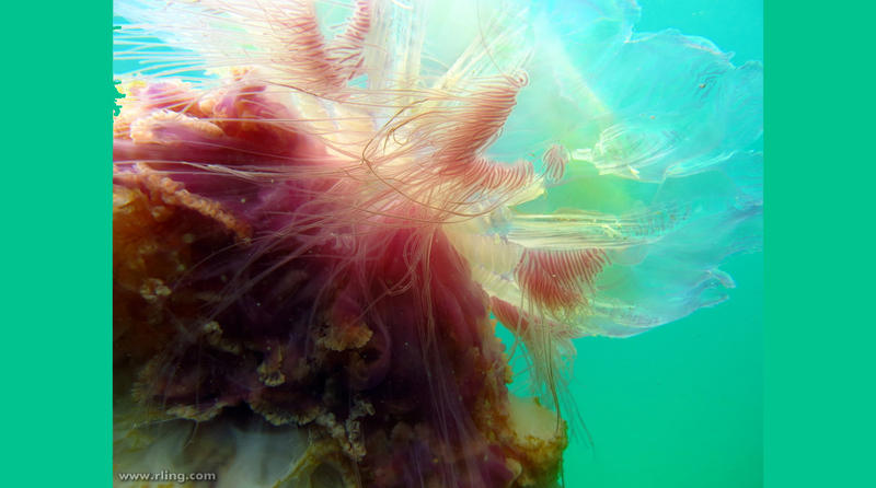 Detail of a Lion's Mane Jellyfish (Cyanea sp.). Bare Island, Botany Bay, New South Wales.