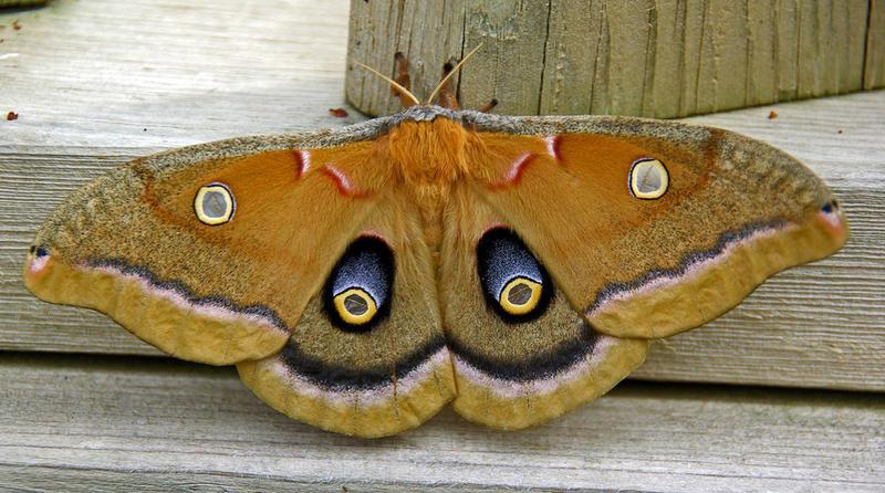 A Polyphemus Moth.