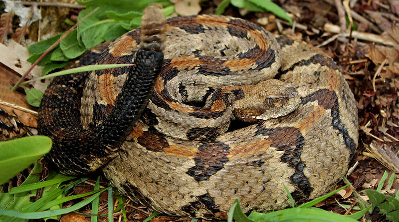 A typically marked Timber Rattlesnake