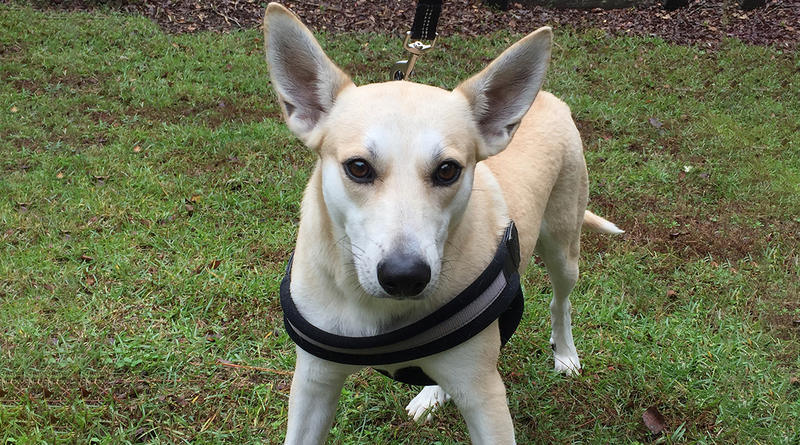 Binky is the breed standard for the Carolina dog, and has been given the registration number 1 by the American Kennel Club.