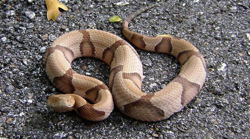 A Copperhead Snake.
