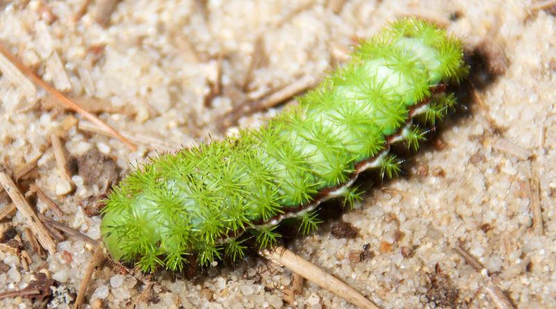 The larva of an Io Caterpillar.