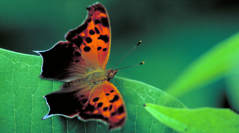 A Question Mark Butterfly