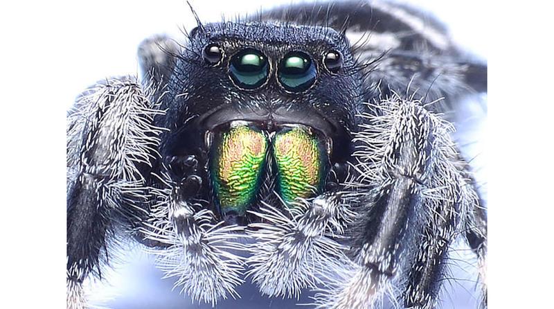 A Regal Jumping Spider