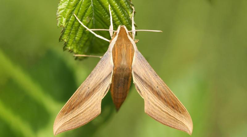 A Tersa Sphinx moth.