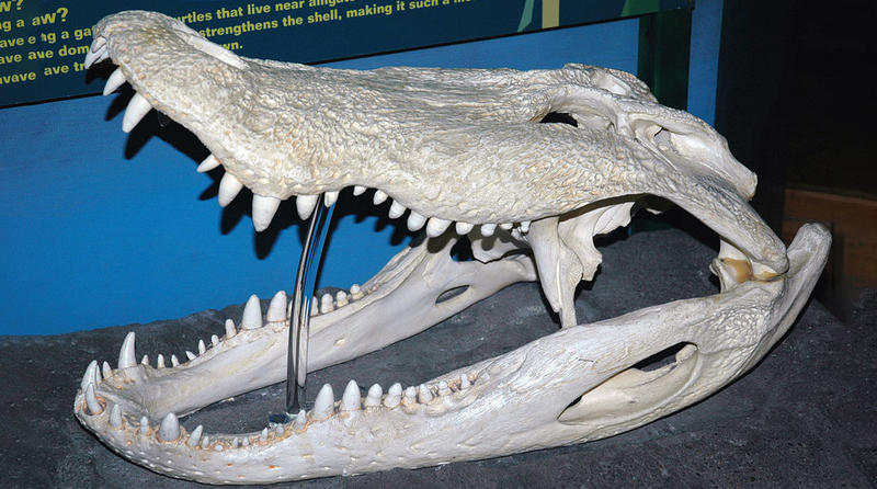 The skull of an American Alligator.