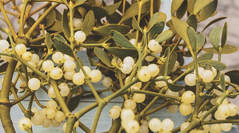 Mistletoe with berries.