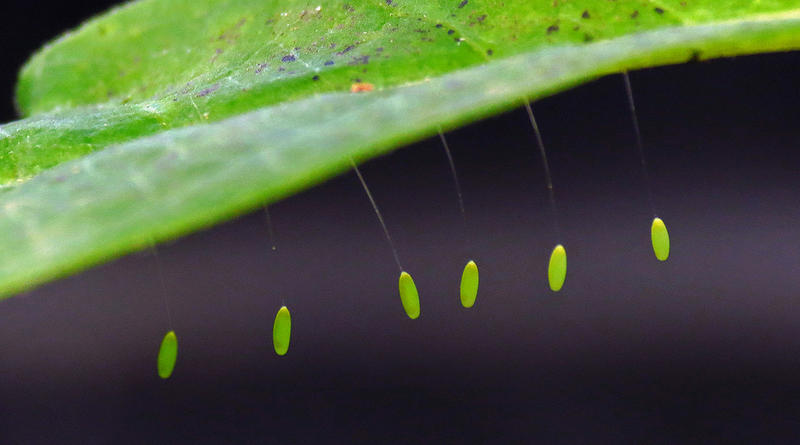 The eggs of a Green Lacewing.