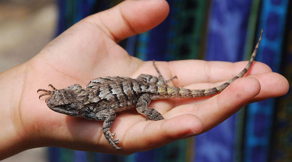 Baby Iguana South Carolina Public Radio