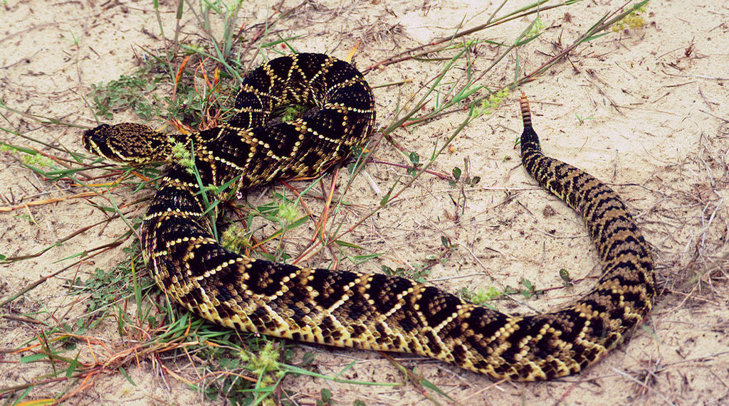 Snakebites May Be On The Rise In South Carolina