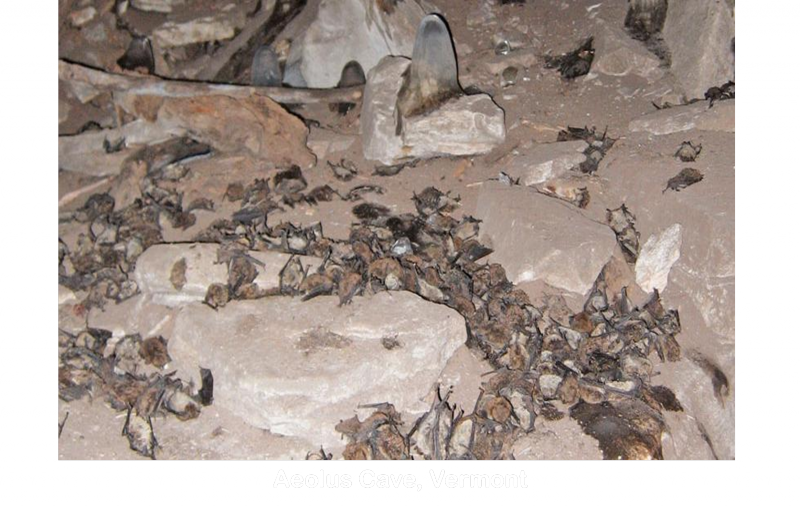 Bats killed by White-nose snydrome at Aeolus Cave in Vermont.