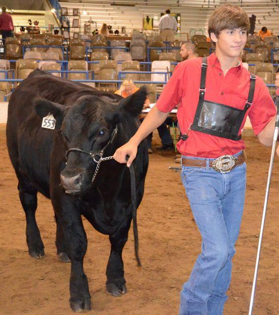 "Franklin resident Blake Bowman leads his 1,300-pound Black Angus steer, ""Black Smoke,"" into the show ring at MTSU's Tennessee Livestock Center."