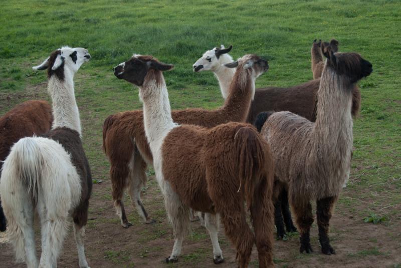 Lucy Ivanoff's Llamas