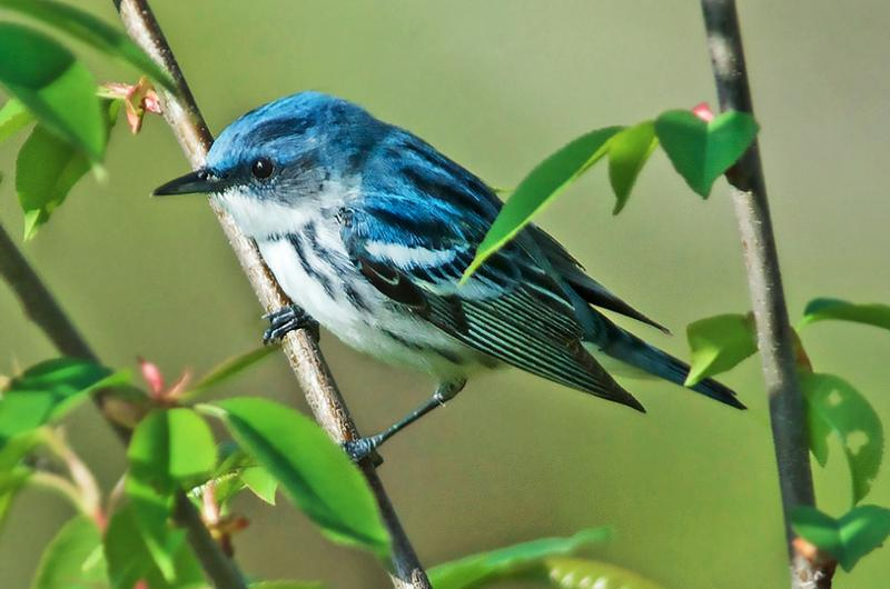 The Cerulean warbler is one of 250 species of birds found on Shenandoah Mountain