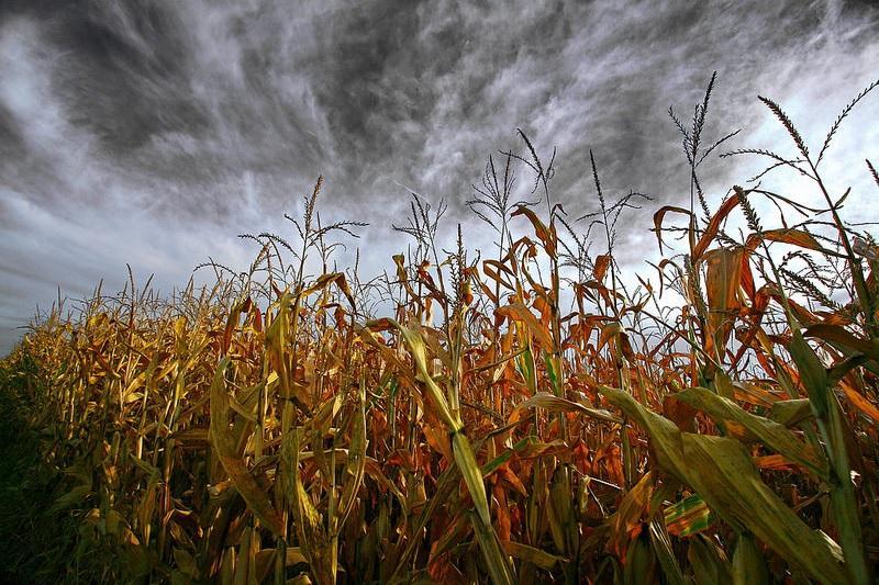 One of Abdulazeez's photographs -- a cornfield against a cloudy sky