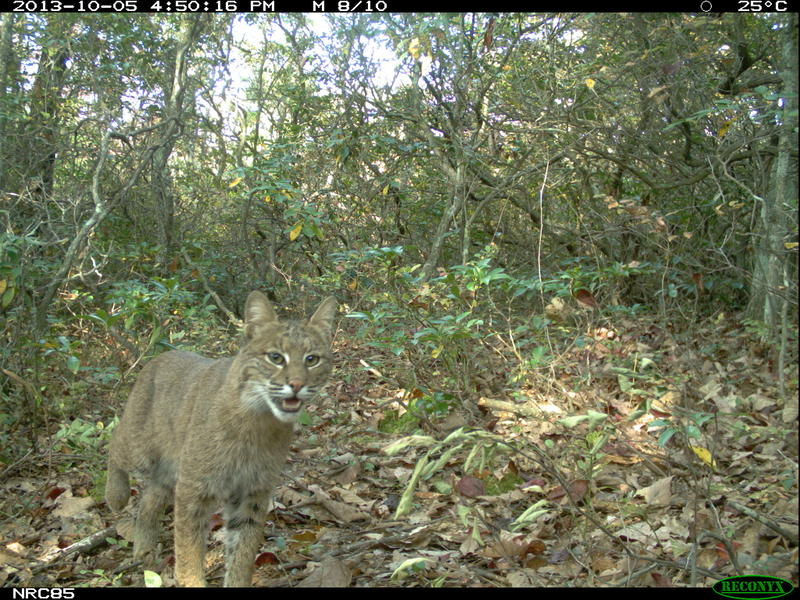 A bobcat photographed in Shenandoah National Park, as part of a camera trapping program run by Dr. Bill McShea of the Smithsonian Institution. The project has collected several million images of wild animals in the region - but not one mountain lion.