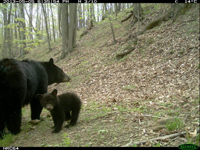 A bear and cub in Shenandoah National Park, also photographed by an automated camera as part of McShea's program.