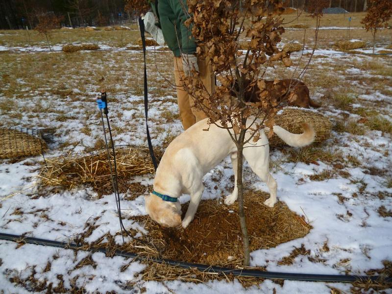Wellington, a six-year-old yellow lab, puts his sniffer to work in search of truffles at the Martins' orchard near Charlottesville, Le Clos de La Rabasse.