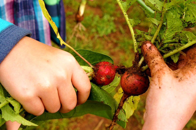 A child harvests radishes.
