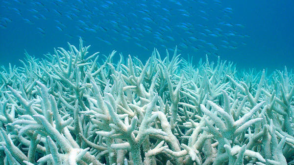 Researchers suspect rising ocean temperatures and chemicals like oxybenzone contribute to coral bleaching, which is when coral expels algae, turning in completely white, then dies.