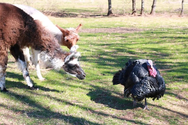 Guardian llamas Silk Buttons and Sequoia help protect the free range turkeys from predators.