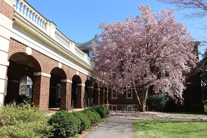 A magnolia tree blooms on campus.