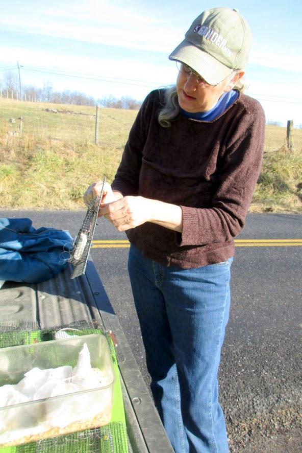Master bander Jill Morrow prepares a kestrel trap, a mouse inside.