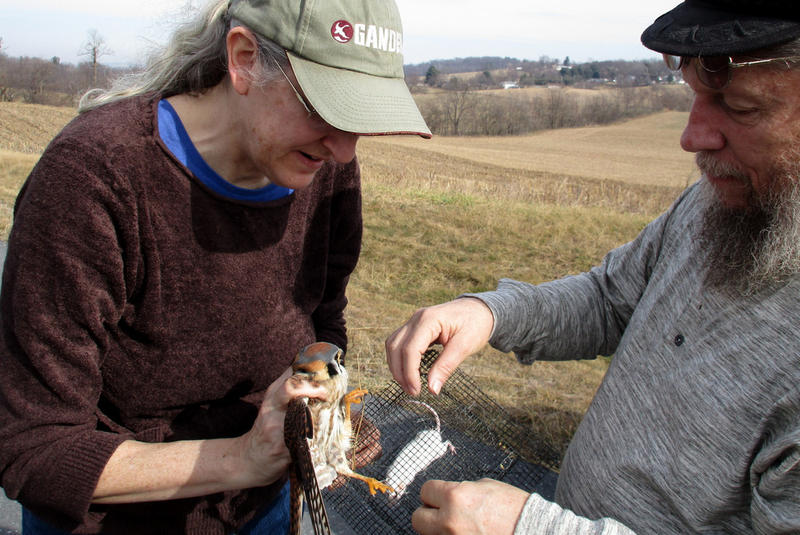 Jill and Lance Morrow disentangle an American kestrel from a trap.
