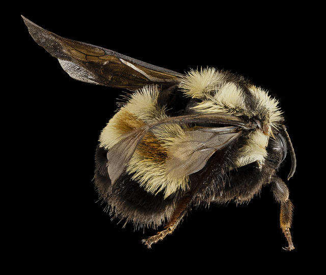 This is a photo of the dead specimen of the rare rusty patch bumblebee that T'ai Roulston found in Sky Meadows State Park in 2014.
