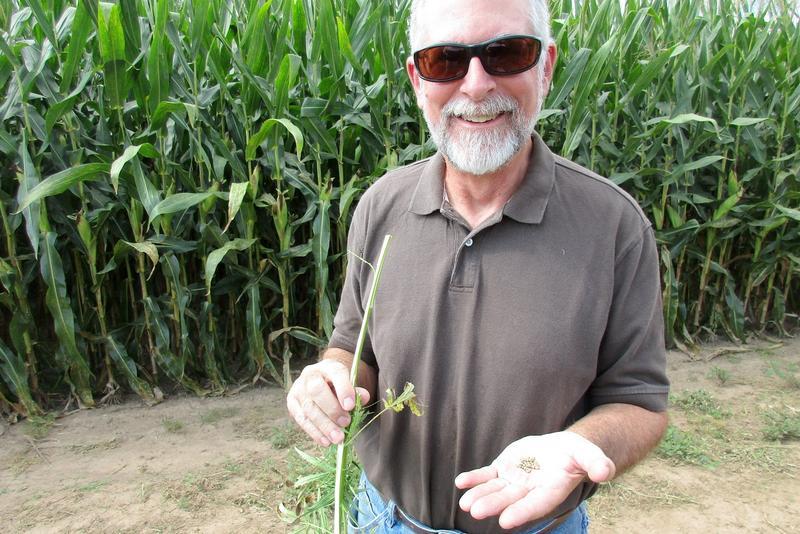 Professor Mike Renfroe with hemp seeds. The hemp field is surrounded by corn fields.
