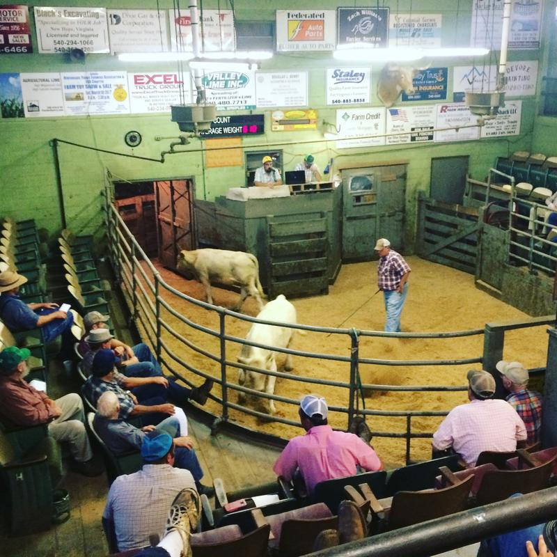 On sale days, farmers from all over the Shenandoah Valley bring in up to 1500 cattle for sale.