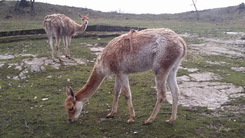 An unusual feature of the site is its zoo: these are vicunas, small relatives of llamas, from South America.