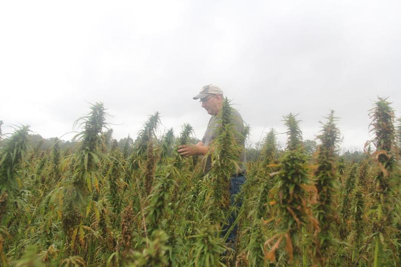 Glenn Rodes of Rockingham County was the first farmer licensed to participate in a pilot program to grow hemp for study in Virginia.
