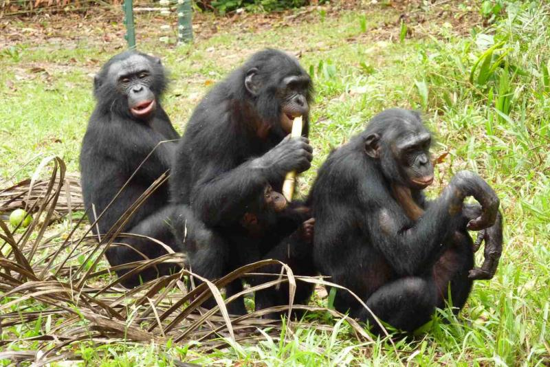 A trio of Bonobos