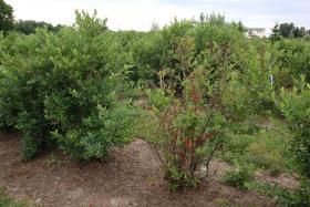 Blueberry farm in Saugatuck Township - file photo