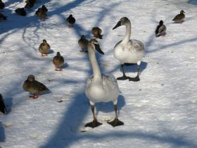 Ducks and trumpeter swans have hung close at the Kellogg Bird Sanctuary this winter.