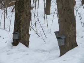 Tapped trees at the Kalamazoo Nature Center