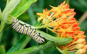 Monarch caterpillars eat only milkweed.