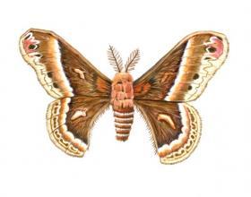 Cecropia moth by Paul Krieger