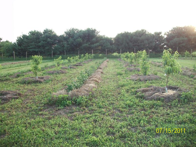 The Donaldson peach orchard