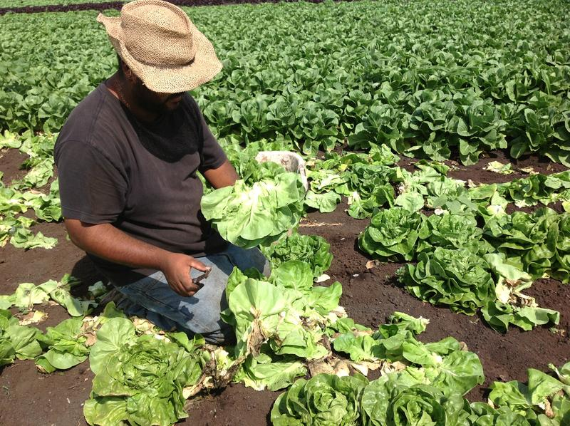 Abel Reyes cuts a head of lettuce to harvest it for Lubber Bros Farms.